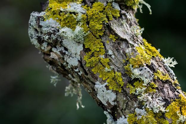 Korstmossen en mos groeien op de stam van een boom op het maltese platteland.