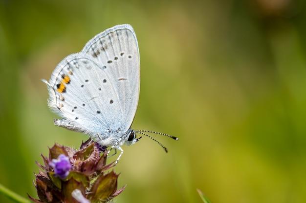 Kortstaartige blauwe of staart cupido op een bloem in een weiland