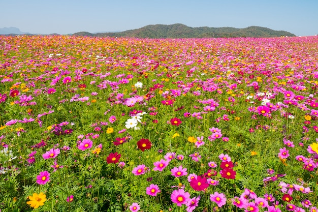 Kosmos bloem veld. bloem veld in de zomer