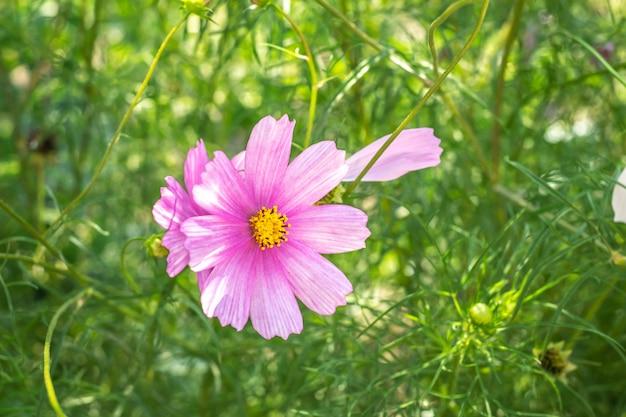 Kosmos bloem