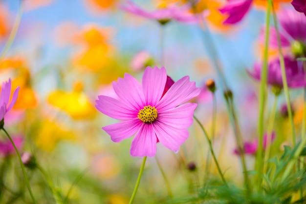 Kosmos bloemen bloeien