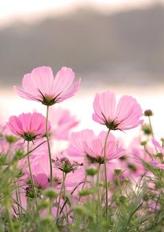 Kosmos bloemen