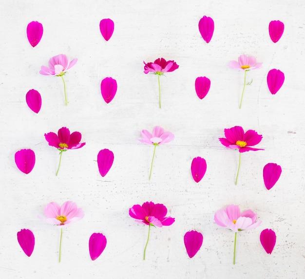 Kosmos roze bloemen en bloemblaadjes feestelijke plat lag samenstelling op witte tafel