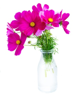 Kosmos roze bloemen in glazen vaas op wit wordt geïsoleerd