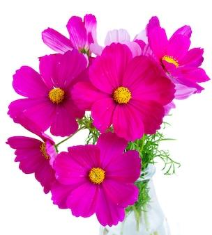 Kosmos roze bloemen in vaas close-up geïsoleerd op een witte achtergrond
