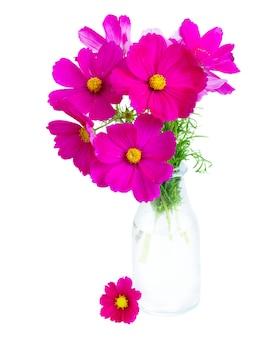 Kosmos roze bloemen in vaas geïsoleerd op een witte achtergrond