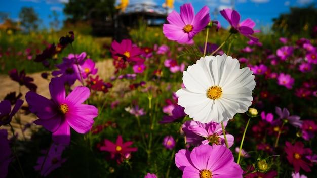 Kosmos roze en witte bloem bloeien op blauwe hemel
