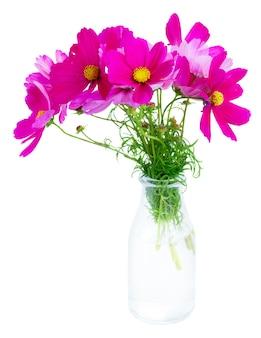 Kosmos verse roze bloemen in glasvaas die op wit wordt geïsoleerd