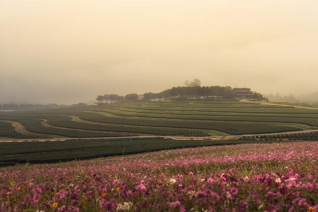 Kosmosbloemen en groene theelandbouwbedrijf in de ochtendzonsopgang