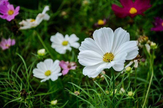 Kosmosbloemen in de tuin