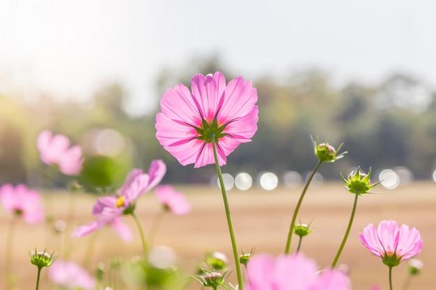 Kosmosbloemen in zomerseizoen