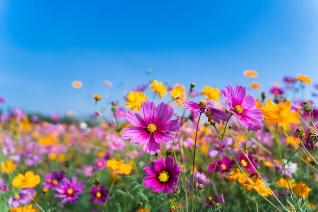 Kosmosbloemen van grasland in de ochtend, het concept van de aardbloem