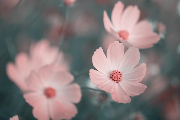 Kosmosbloemen voor achtergrond en prentbriefkaar