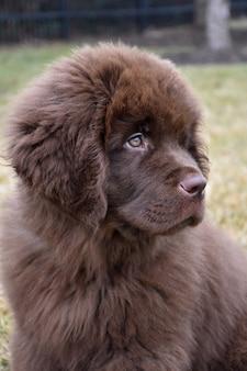 Kostbare pluizige bruine newfoundland puppyhond ziet er schattig uit