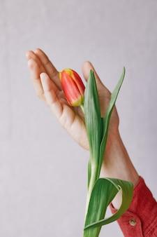 Kostbare rode tulpen in de hand van een vrouw. europese bloemist bereidt een boeket tulpen voor op a