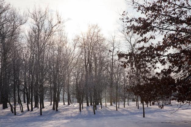 Koud winterweer in het park of bos bij vorst met dennen- en sparren, naaldbomen in het winterseizoen, winterseizoen met sneeuw in het park of bos en dennensparren