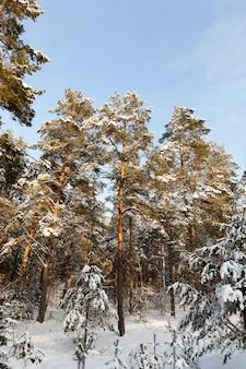 Koud winterweer in het park of bos bij vorst met dennen- en sparrenbomen, naaldbomen in het winterseizoen