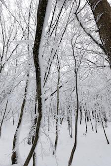 Koude en besneeuwde winters, bomen groeien in het park of in het bos in witte sneeuw na een sneeuwval, volledig bedekt met sneeuw loofbomen in de winter