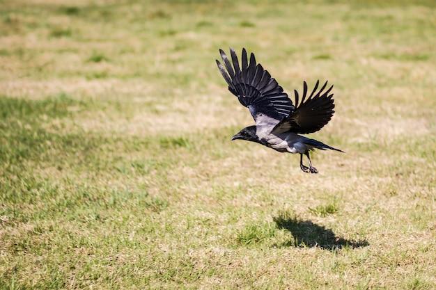 Kraai met uitgespreide vleugels die over een grasrijk gebied vliegen