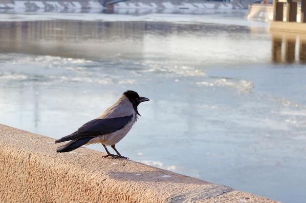 Kraai op het granieten hek van de kade tegen de bevroren rivier op een lentedag