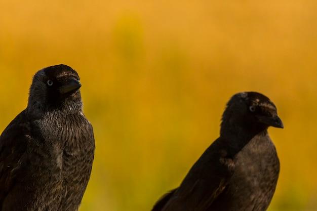 Kraaien (corvus corax) in het voorjaar in montgai, lleida, catalonië, spanje. europa