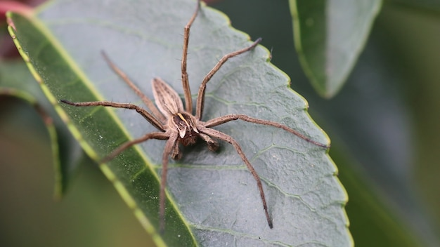 Kraamwebspin (pisaura mirabilis, mannelijk)