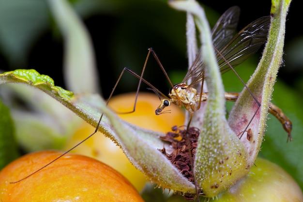 Kraanvlieg zit tussen oranje rozenbottelsbessen.