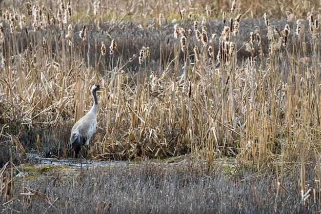 Kraanvogel, grus grus, in zijn natuurlijke broedhabitat