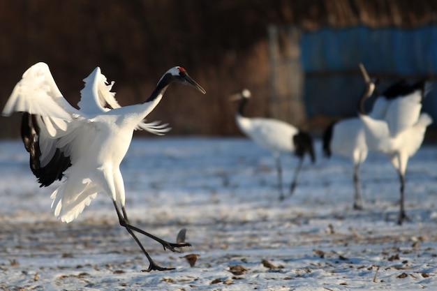 Kraanvogel met zwarte hals die op de met sneeuw bedekte grond landt in hokkaido in japan