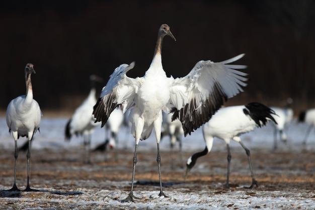 Kraanvogel met zwarte nek die op de met sneeuw bedekte grond landt