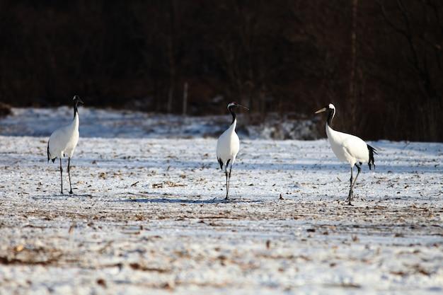 Kraanvogels met zwarte nek staan op de grond bedekt met de sneeuw in hokkaido in japan