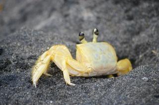 Krab op zwarte strand, schaal-en schelpdieren
