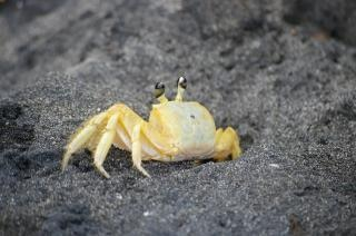 Krab op zwarte strand, shell