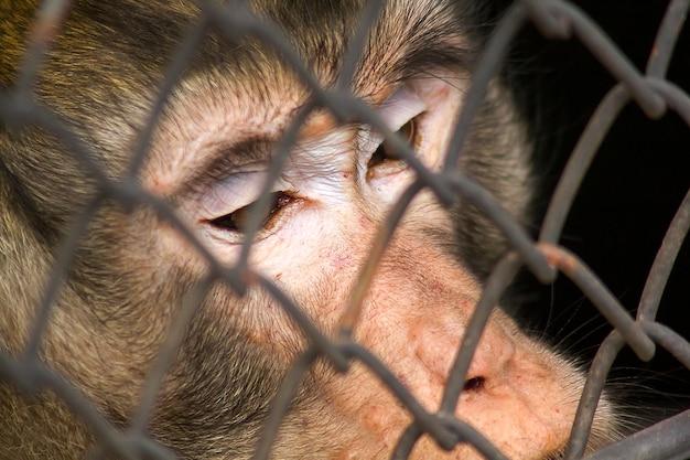 Krabbenetende makaak in de dierentuin