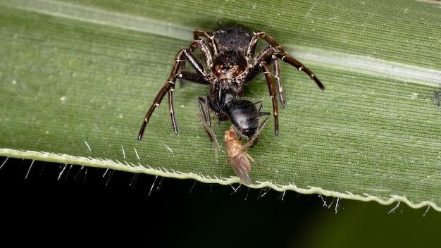 Krabspin van de familie thomisidae die op een mier aast