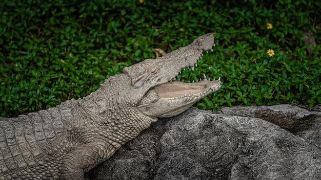 Krokodil amfibie dier
