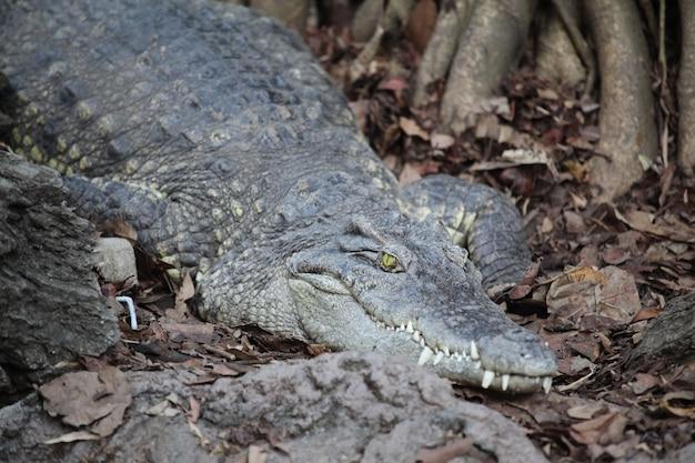 Krokodil in de buurt van de rivier