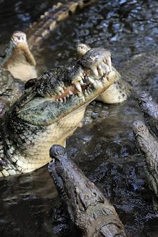 Krokodil in het water. kenia, afrika