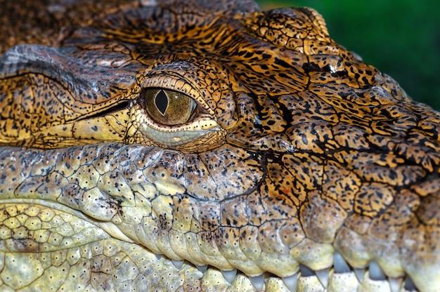 Krokodil in het wild op het eiland sri lanka