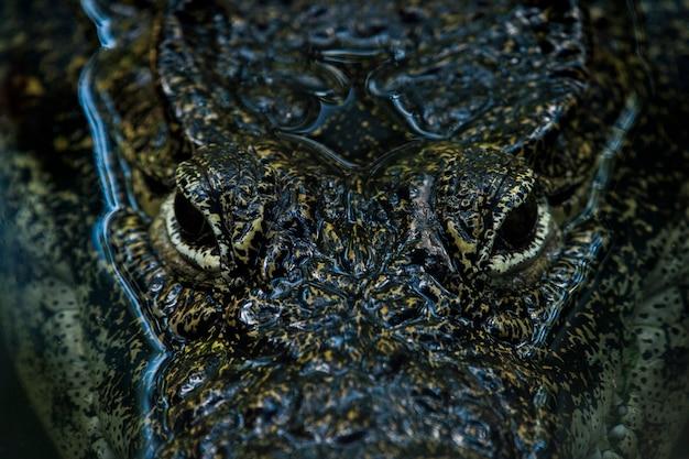 Krokodil (onderfamilie crocodylinae) of echte krokodil zijn grote aquatische reptielen die leven in de tropen in afrika, azië, amerika en australië