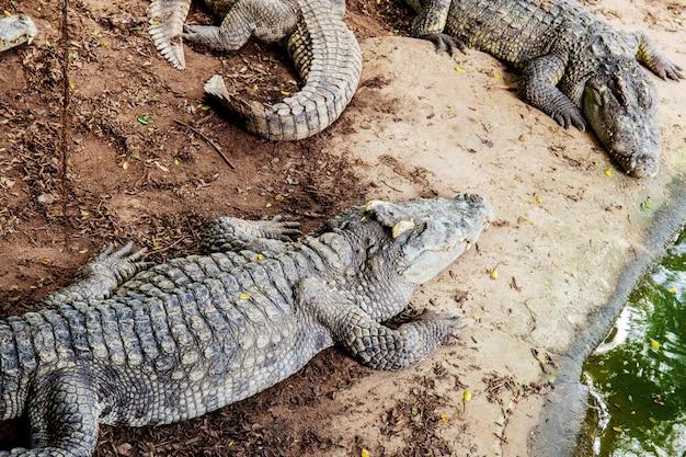 Krokodil op grond in boerderij.