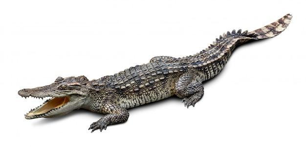 Krokodil op wit wordt geïsoleerd dat