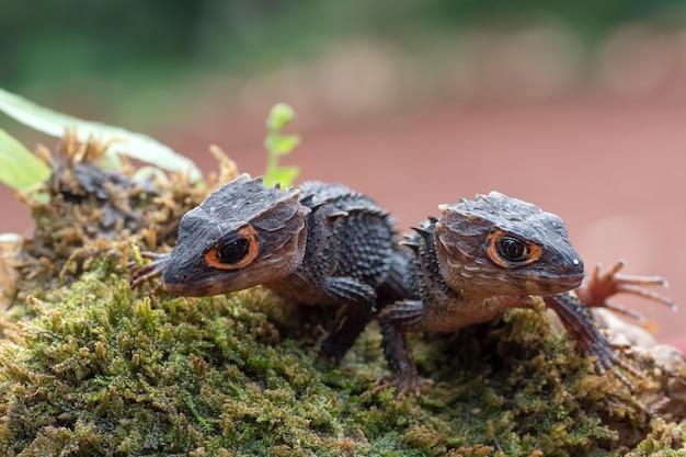 Krokodil skink hagedis op hun omgeving