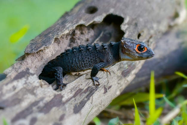 Krokodil skink op het hout in tropische tuin