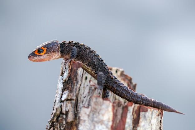Krokodil skink op twis in tropische tuin Premium Foto