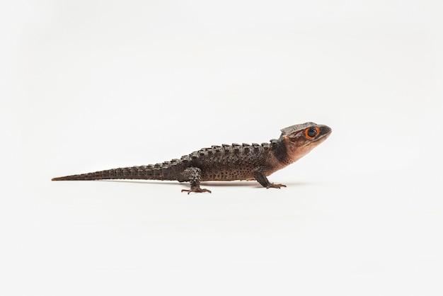 Krokodil skink op witte achtergrond