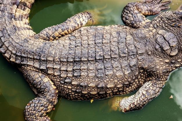 Krokodil van terug op water.