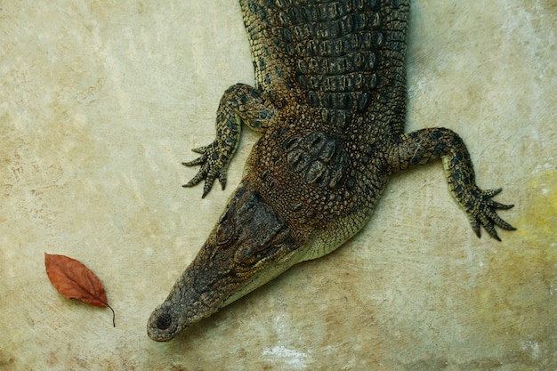 Krokodil zonnebaden, op een betonnen ondergrond, bovenaanzicht, close-up, krokodillenboerderij, krokodillenhouderij.