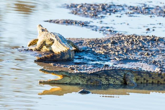 Krokodillen op rivieroever. safari in het nationale park van kruger, reisbestemming in zuid-afrika.