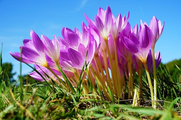 Krokus lentebloemen op een zonnige dag